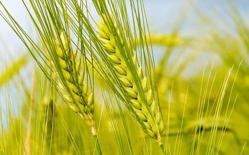小麦期货交易有哪些特点?